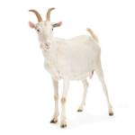 STORE_goat